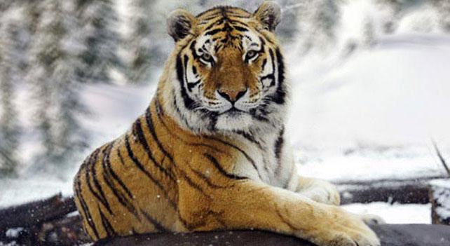 Qué Comen Los Tigres Siberianos Cuanto Viven Los Animales